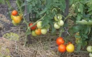 Фото, отзывы, описание, характеристика, урожайность, видео сибирского сорта томата «Метелица»