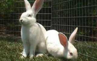 Белые великаны (кролики): описание породы и разведение