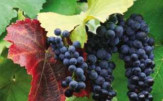 Сорта винограда по алфавиту от А до Я: особенности и характеристики