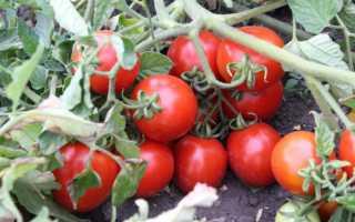 Томат Земляк: описание с фото, характеристика и урожайность сорта, особенности выращивания, отзывы тех, кто сажал