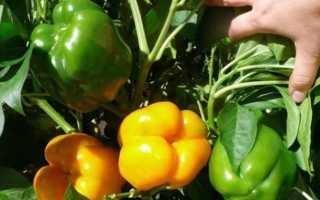 Семена и сорта перца сладкого раннего толстостенного для Подмосковья
