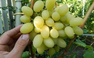 Виноград Ландыш: описание сорта, фото, отзывы