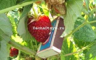 Малина Нижегородец — отзывы о сорте, описание, фото