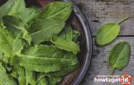 Щавель — польза и вред для здоровья организма