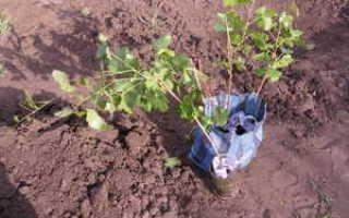 Посадка саженцевого винограда осенью: как правильно посадить осеннее растение
