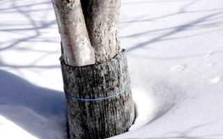 Как укрыть яблоню на зиму