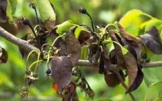 Почернение листьев на груше: что делать, как и чем лечить болезнь, если листья почернели, сохнут и скручиваются