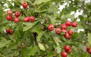 Боярышник сибирский, ботаническое описание, применение, посадка и уход