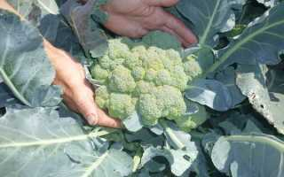 Когда убирать капусту брокколи с грядки и как хранить?