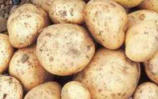 Картофель Джелли: описание сорта, фото и отзывы