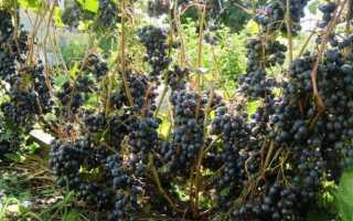 Виноград Памяти Домбковской: описание сорта, фото, отзывы