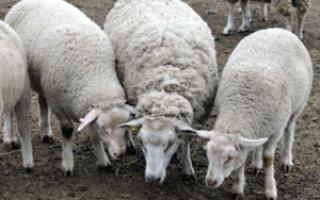 Ташлинская порода овец: описание и характеристика