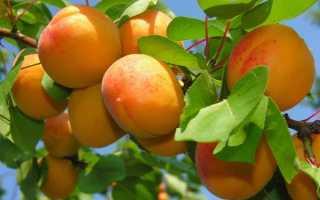 Кичигинский абрикос: описание и характеристика сорта