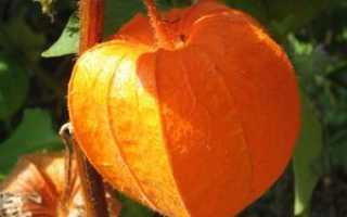 Физалис овощной и земляничный: полезные свойства, противопоказания