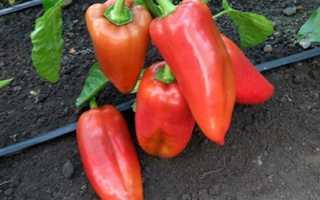 Перец — Красная лопата: характеристика и описание сорта, отзывы, фото, кто сажал