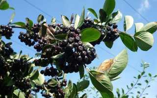 Как размножить черноплодную рябину черенками, отводками, делением куста, видео