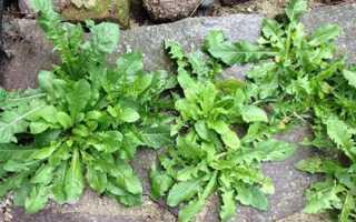 Сорняки на огороде — фото с описанием распространенных видов, способы борьбы, видео