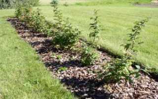 Как правильно сажать малину весной: описание способов и пошаговая инструкция