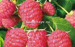 Малина Рубиновый гигант — отзывы о сорте, описание, фото