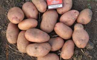 Картофель Славянка – описание сорта, фото, отзывы