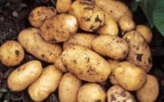 Картофель Джувел: характеристика и описание сорта, отзывы, урожайность, фото