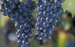 Виноград Маркетт: описание, отзывы