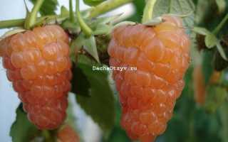 Малина Оранжевое Чудо — отзывы о сорте, описание, фото