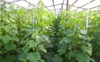 Как правильно посадить (высаживать) огурцы в теплице?