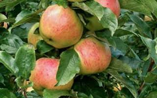 Яблоня колоновидная — Валюта: описание сорта, фото, отзывы