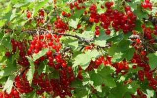 Смородина ненаглядная — описание сорта красной смородины
