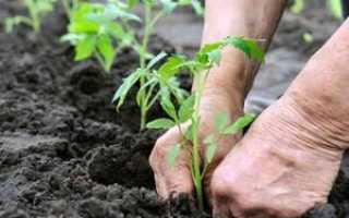 Подкормка томатов после высадки в грунт: чем подкармливать рассаду помидор для улучшения урожая