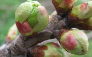 Прививка плодовых деревьев мостиком, как правильно, видео