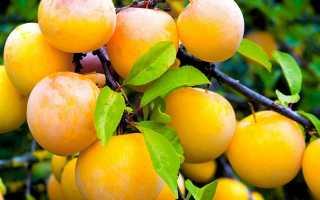 Самоплодные сорта сливы: описание сортов, низкорослые сорта для средней полосы