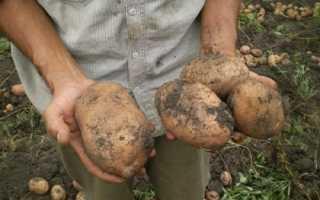 Картофель сорта Сифра: фото и описание, отзывы