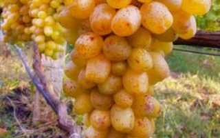 Виноград Валентина описание сорта, выращивание уход и фото