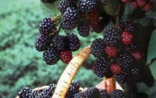 Черная малина Кумберленд: посадка и уход