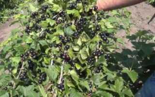 Черная смородина добрыня: описание сорта, правила агротехники
