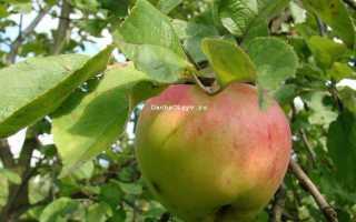 Яблоня Антоновка Десертная — отзывы о сорте, описание, фото