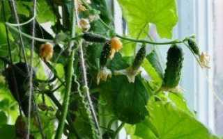 Как вырастить огурцы на подоконнике в квартире зимой: когда и как посадить рассаду, подкормка, пересадка и уход за подросшими растениями