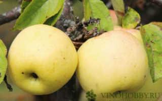Вино из яблок – простой рецепт, способы приготовить яблочный сидр, вино из яблочного пюре