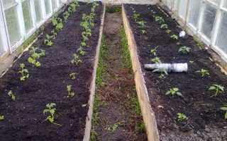Когда высаживать томаты в теплицу в Сибири и можно ли сжать рядом перцы