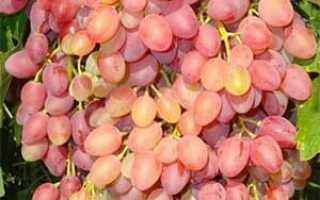 Описание сорта винограда кишмиш Находка: фото и отзывы, Vinograd-Loza