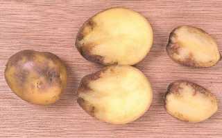 Картофель: что делать если подмерзли всходы и почему чернеет внутри при хранении