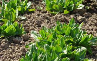 Щавель посадка и уход в открытом грунте Щавель выращивание из семян Как посеять щавель весной и под зиму