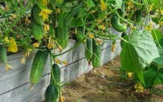 Как продлить плодоношение огурцов до поздней осени