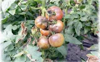 Самые эффективные средства от фитофторы на помидорах