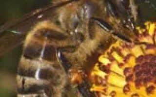 Нозематоз пчел: признаки и течение болезни, диагноз, профилактически мероприятия и лечение, Ветеринарная служба Владимирской области