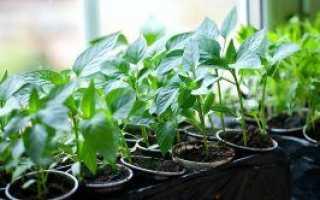 Когда садить перец на рассаду в Сибири: сроки посева по лунному календарю, подготовка семян, как сеять, пересадка в открытый грунт