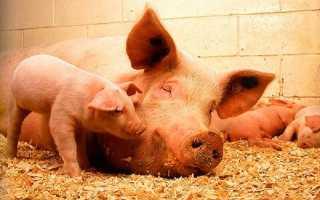 Свиньи ландрас: характеристика, преимущества и уход — Cельхозпортал