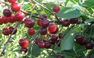 Лучшие сорта вишни для Подмосковья, самоплодные сорта вишни, какие сажать